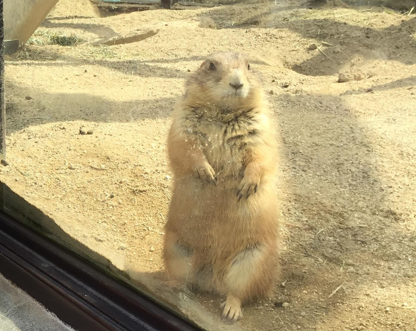 higashiyama-zoo-prairiedog