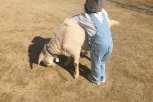 higashiyama-zoo-goat