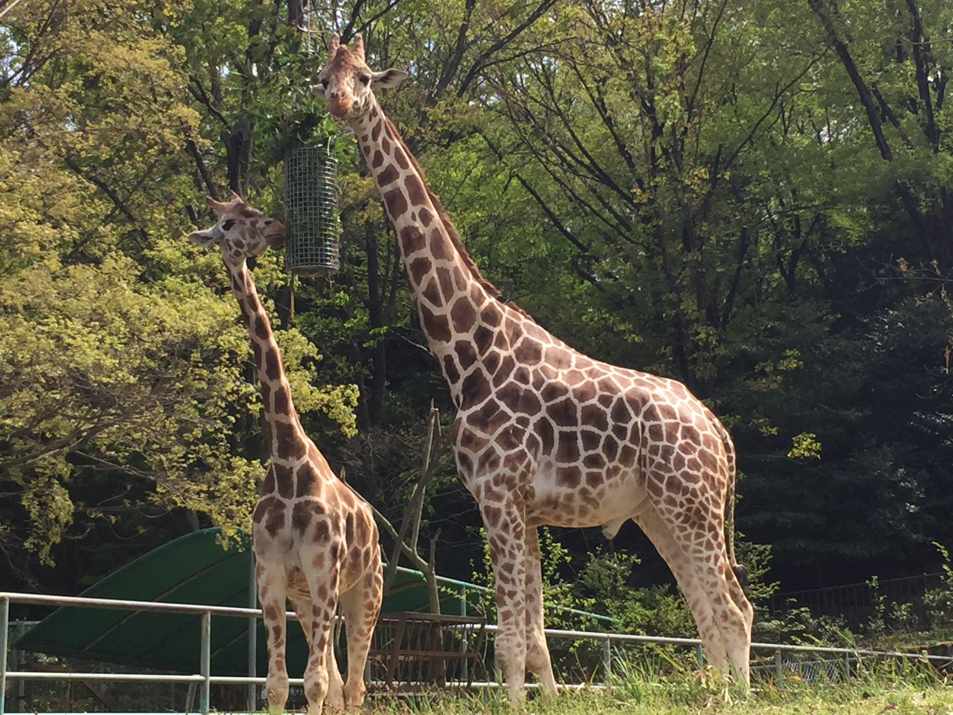 higashiyama-zoo-giraffe