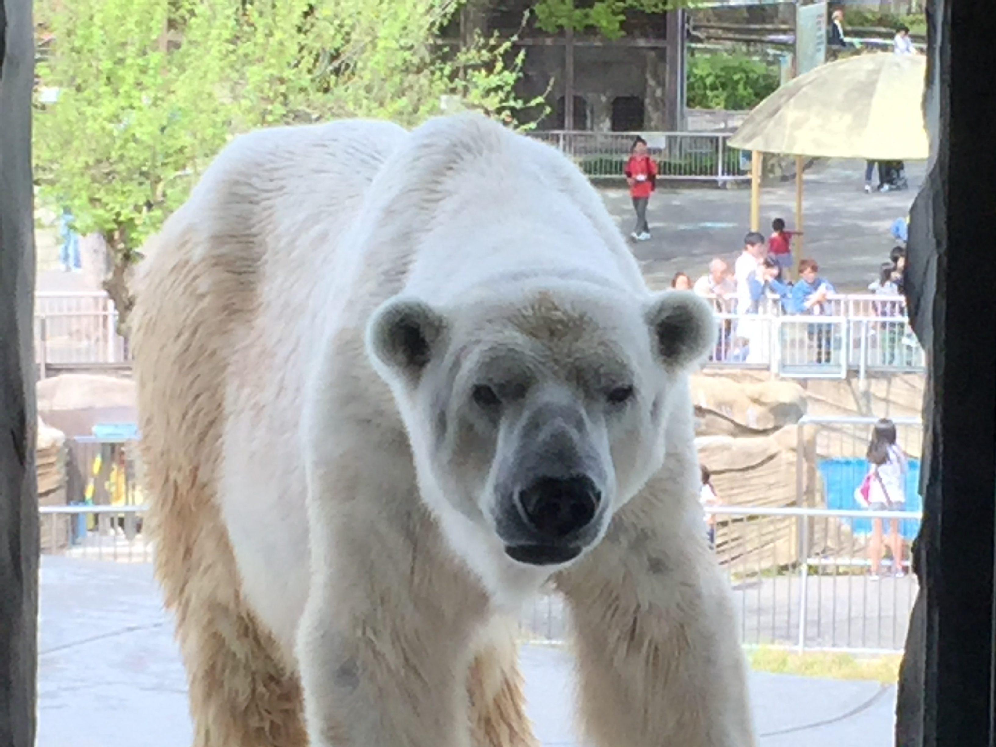 higashiyama-zoo-polarbear