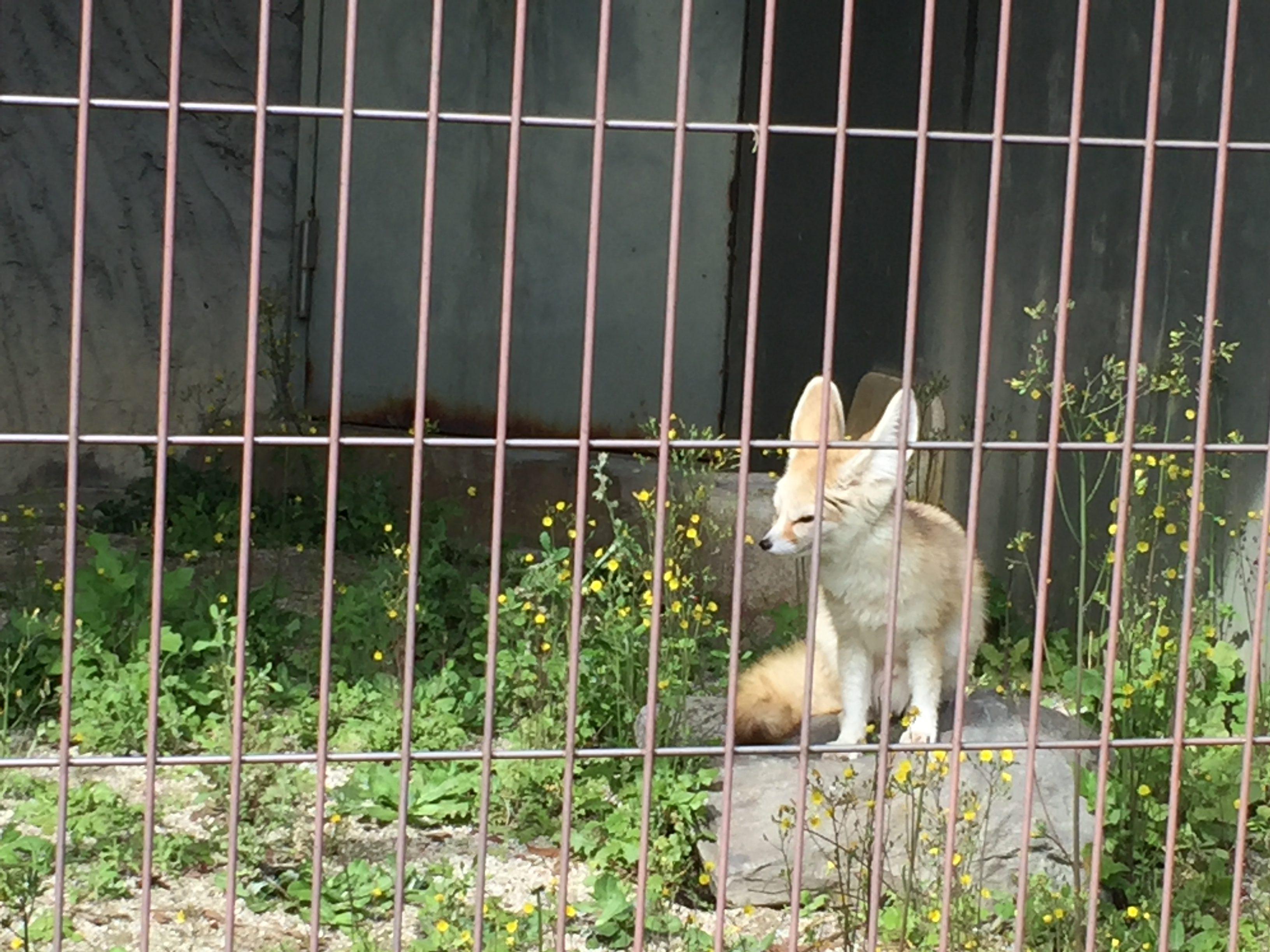 higashiyama-zoo-fennecfox
