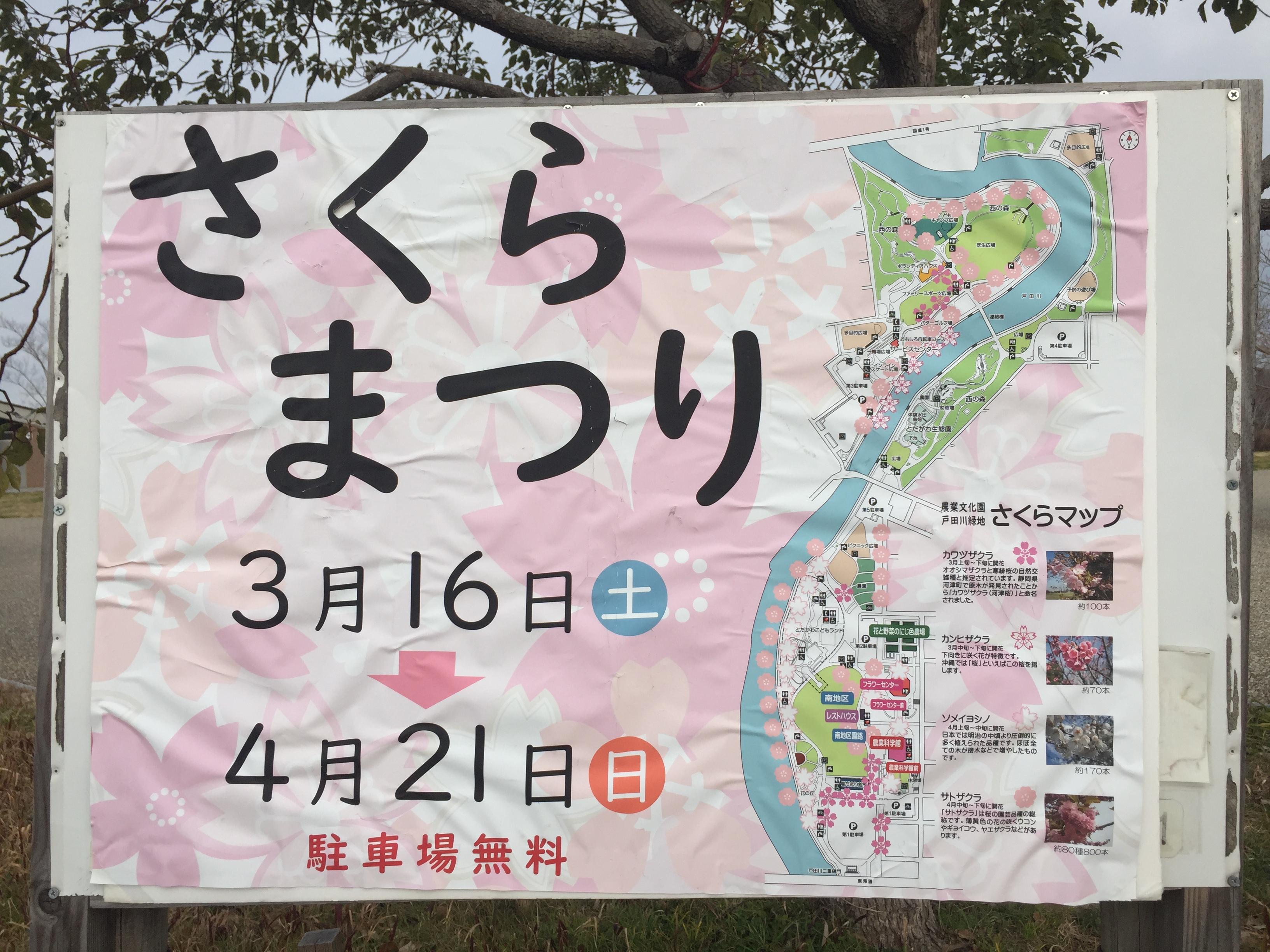 todagawaryokuchi-sakura