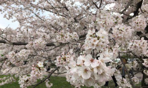 nagoyajyou-sakura
