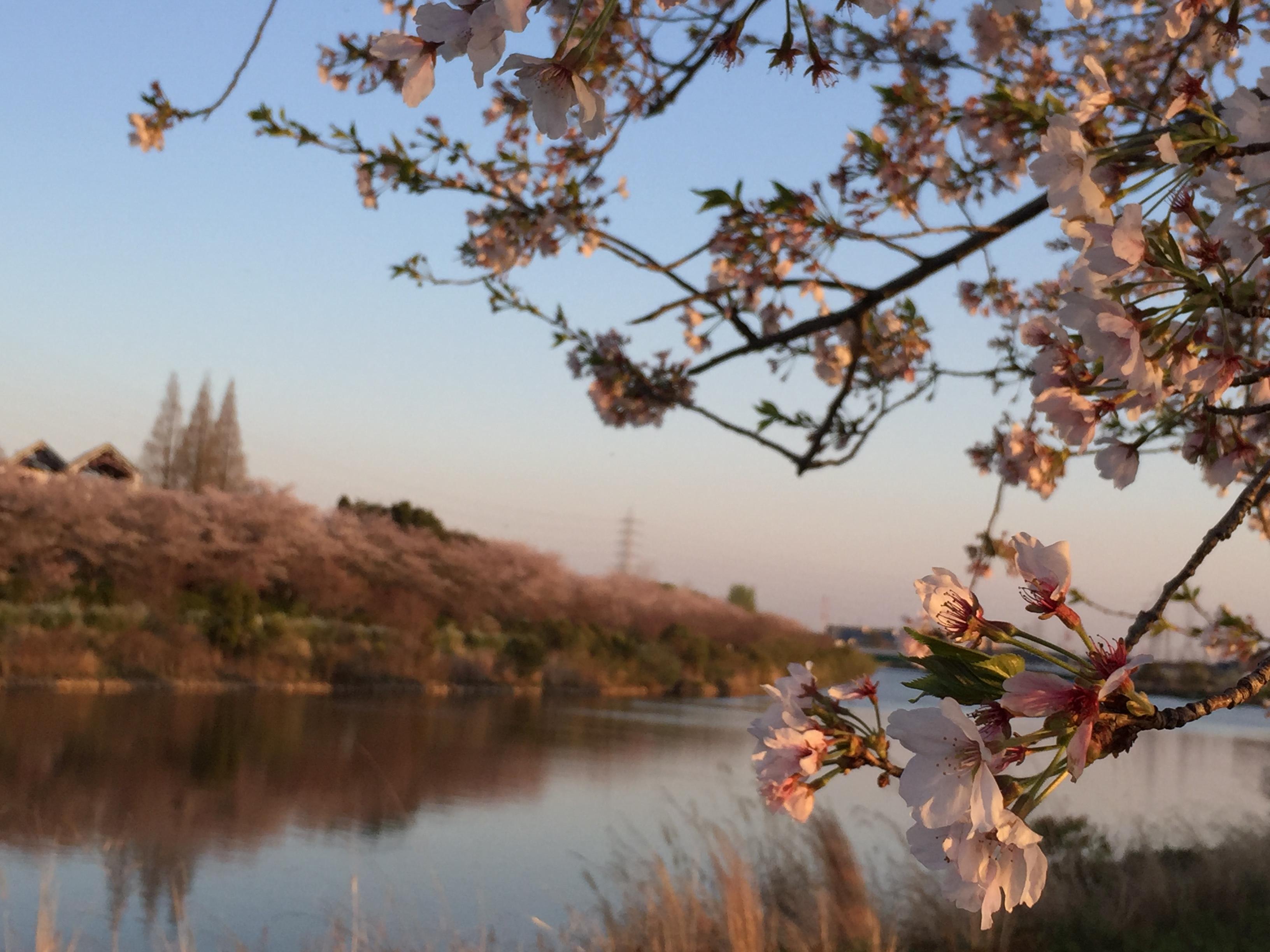 todagawaryokuchi-park-sakura