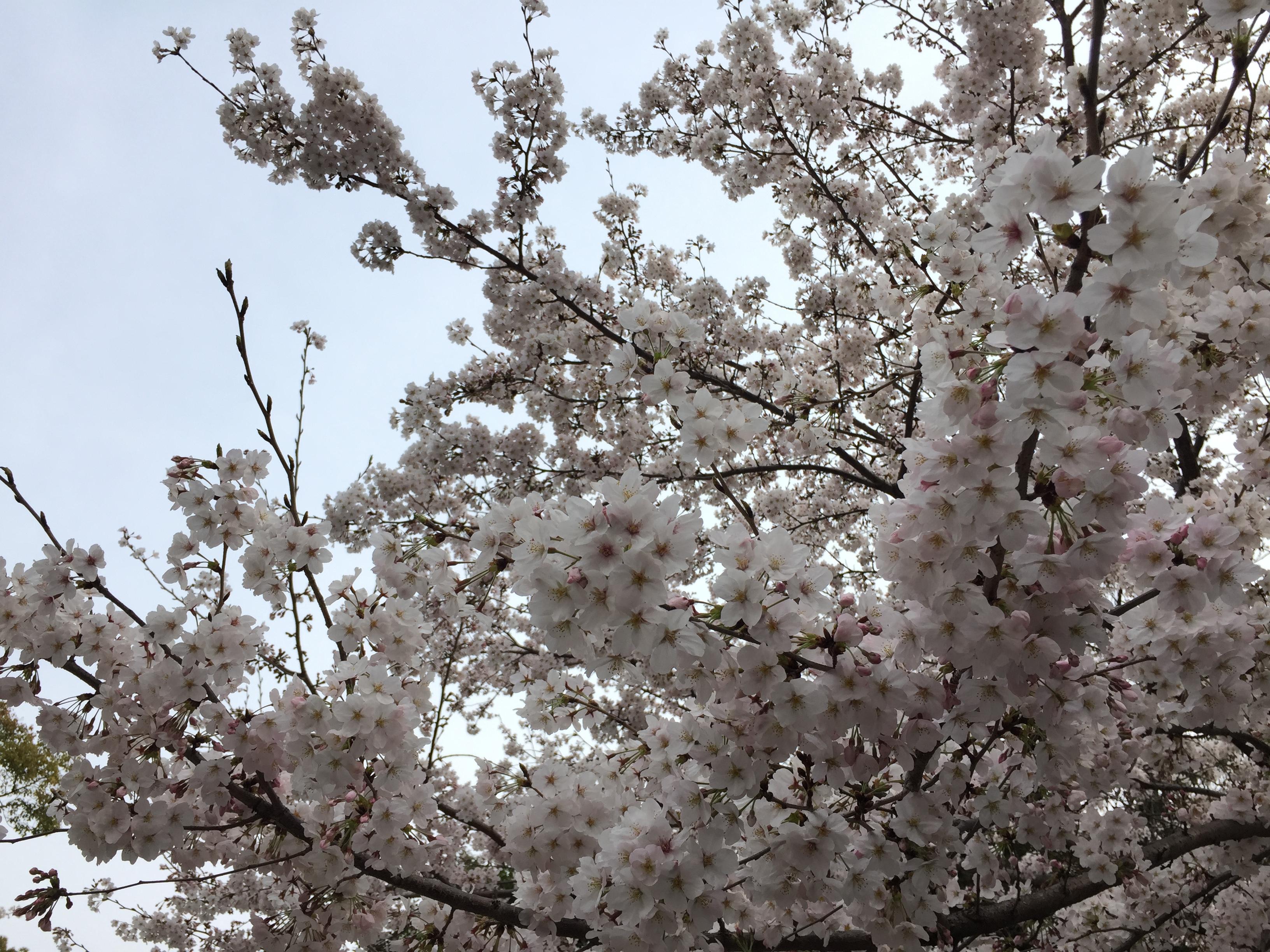 higashiyama-zoo-sakura
