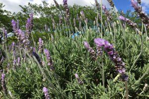 moricoropark-lavender