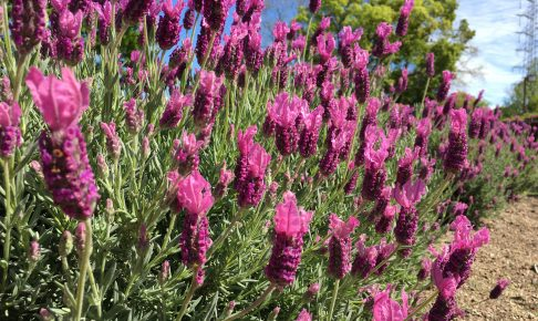 arakogawapark-lavender