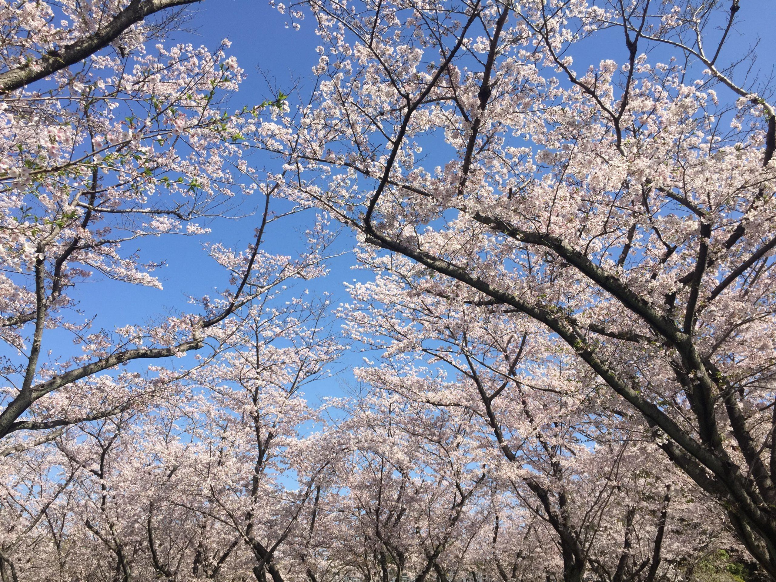 nagoya-heiwapark-sakura
