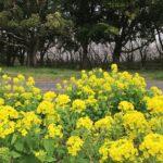 syonairyokuchi-sakura-nanohana