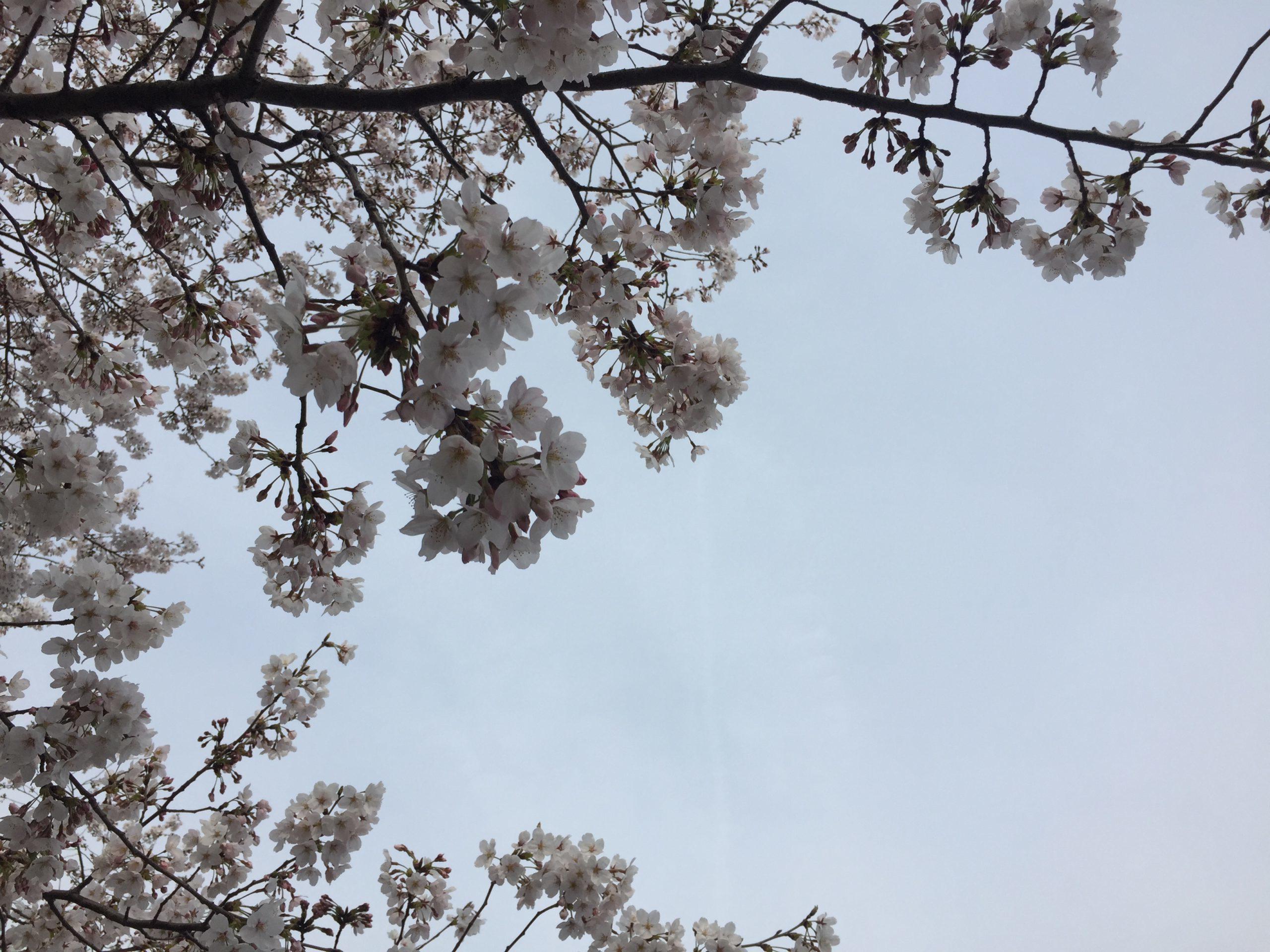 moricoropark-sakura