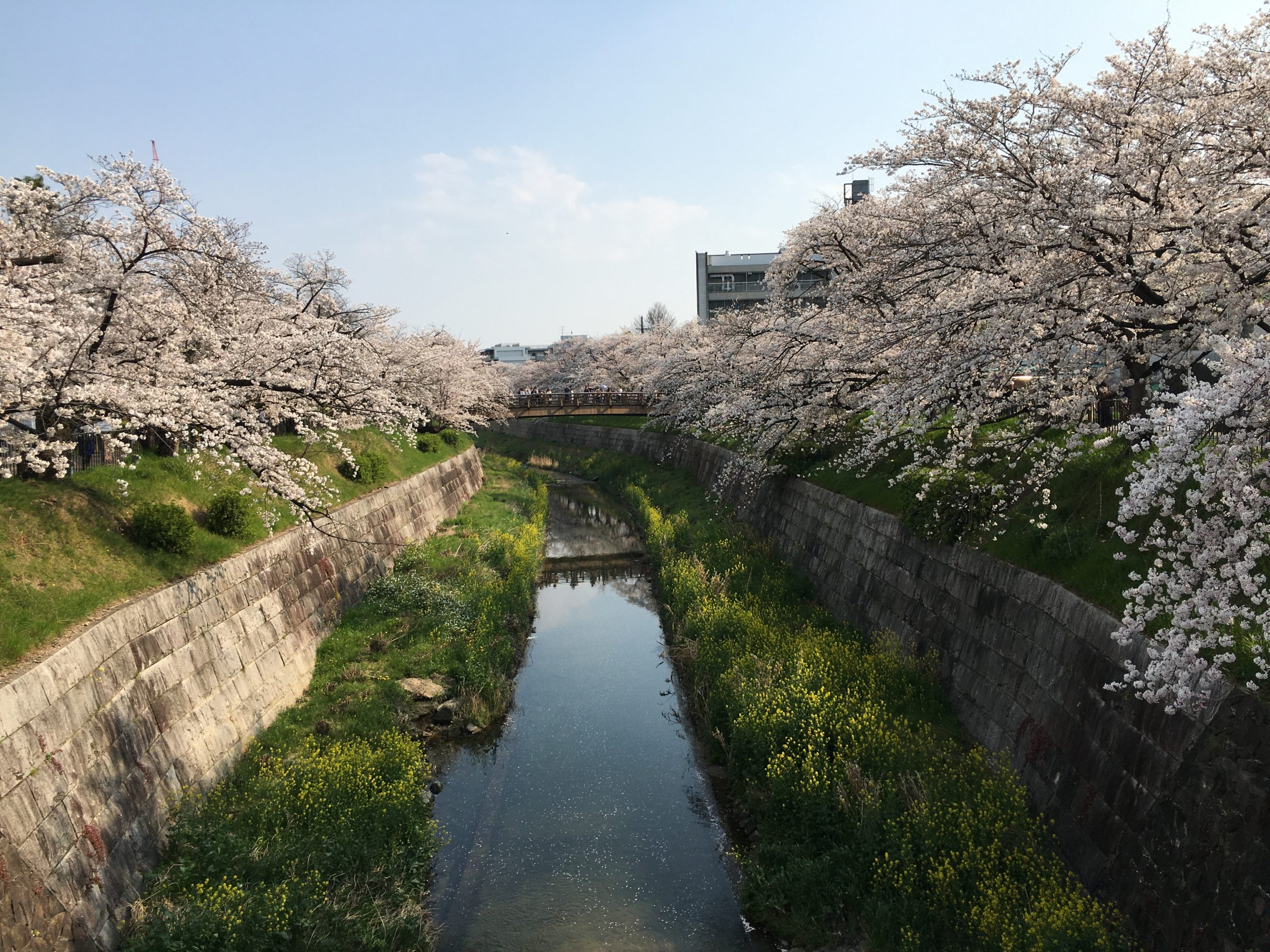 yamazaki-river-sakura