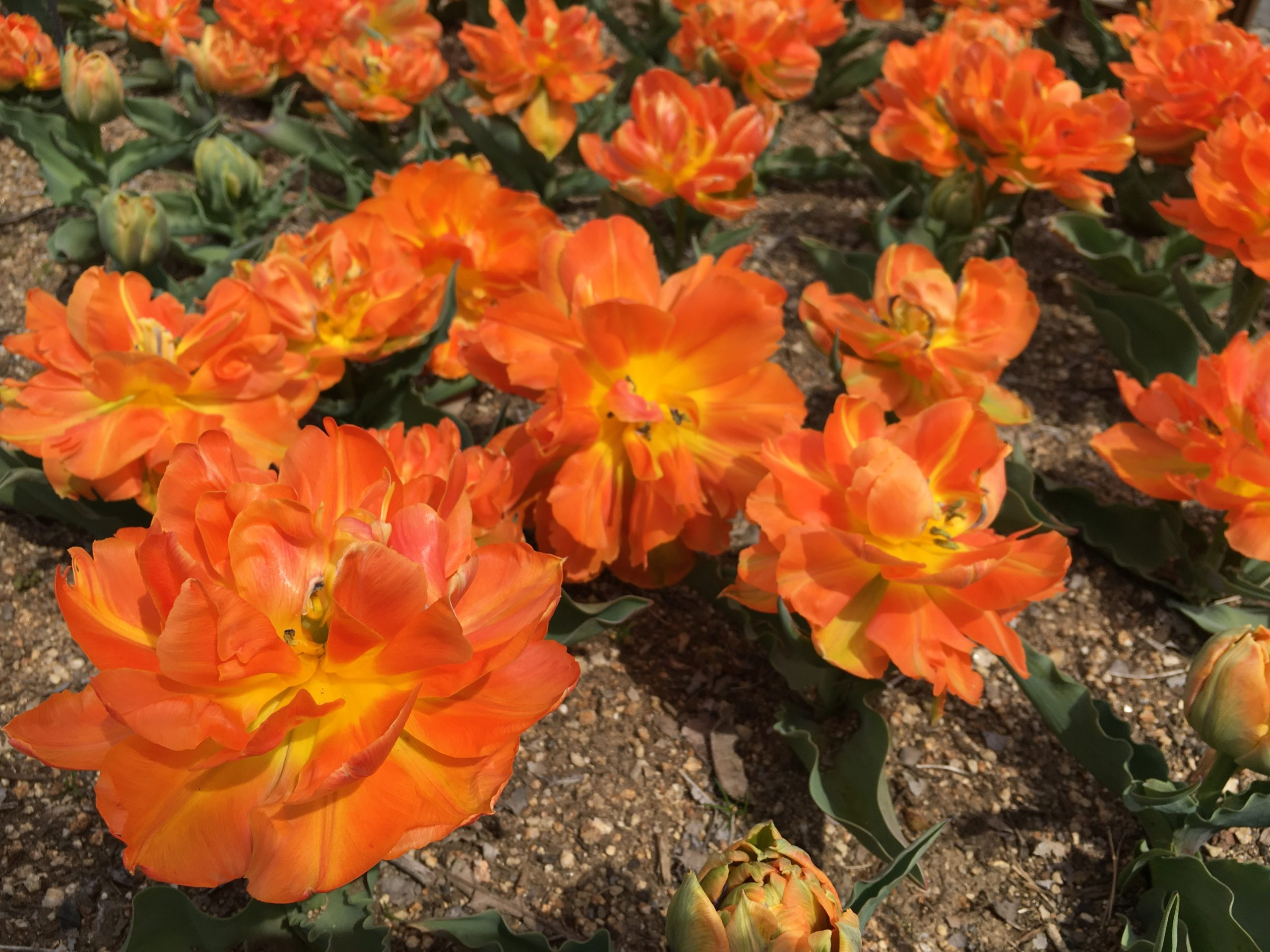 gifu-kisosansenkoen-tulip